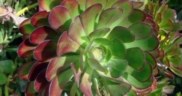 Aeonium arboreum atropurpureum 'Purple Rose' Succulent